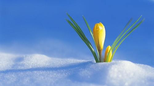 yellow-crocus-500x281